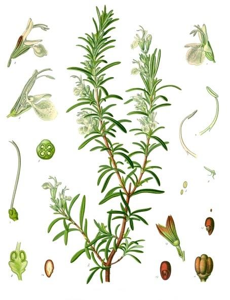 Rosmarinus officinalis - Köhler's Medizinal